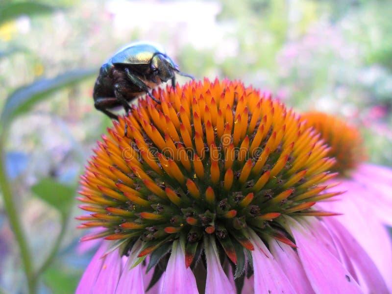 Brilliant beetle stock photography