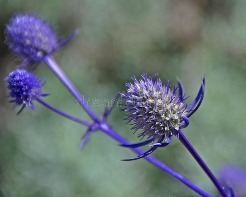 Brilliant Blue Wildflower stock photography