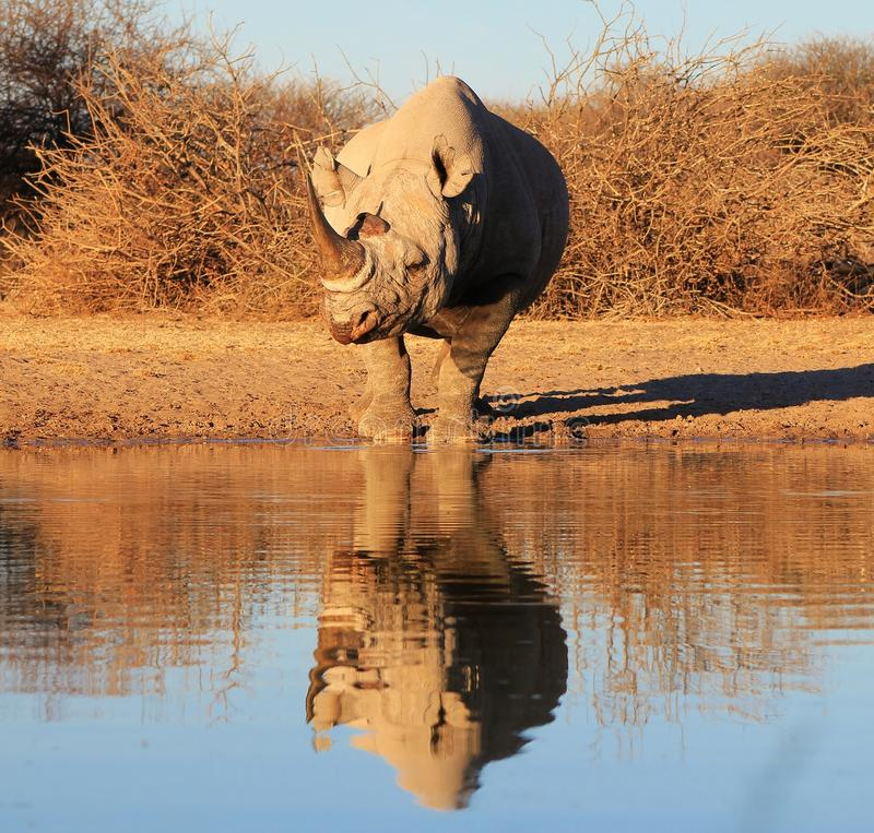 Free Brilliant Brut - Black Rhino, Endangered African Royalty Free Stock Photography - 26085437