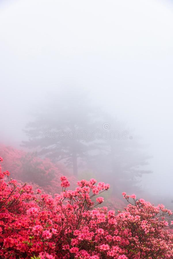 Azalea flowers. Brilliant color of azalea flowers in front of mountain fog.Photographed at the Guifeng Mountain Scenic Spot in Macheng, Hubei Province, China stock image