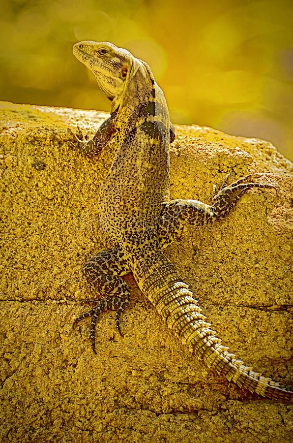 Brilliant disguise. A perfectly camouflaged lizard blends in against it's wall. Animal, animals, basking, blooded, brilliant, cold, creature, desktop stock images