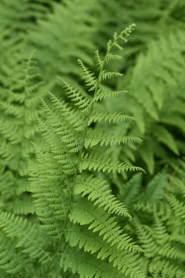 Brilliant Green Lady Ferns and Fiddleheads in a Shade Garden royalty free stock photos