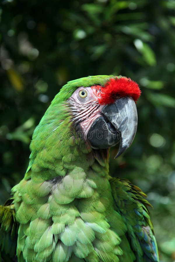 Brilliant military macaw. Vividly colored military macaw outside royalty free stock images