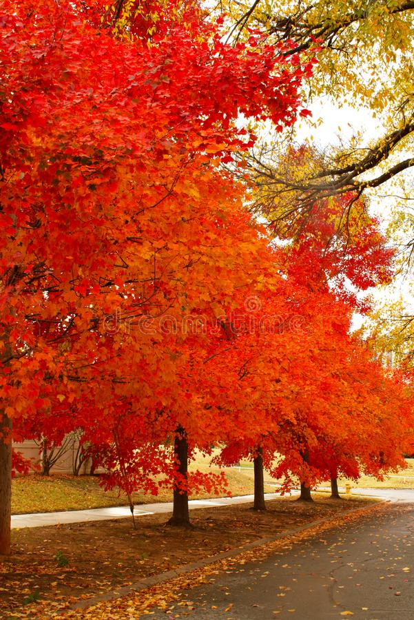 Brilliant Orange and Yellow Autum Leaves on a Boulevarded Street. With fallen leaves on ground stock image