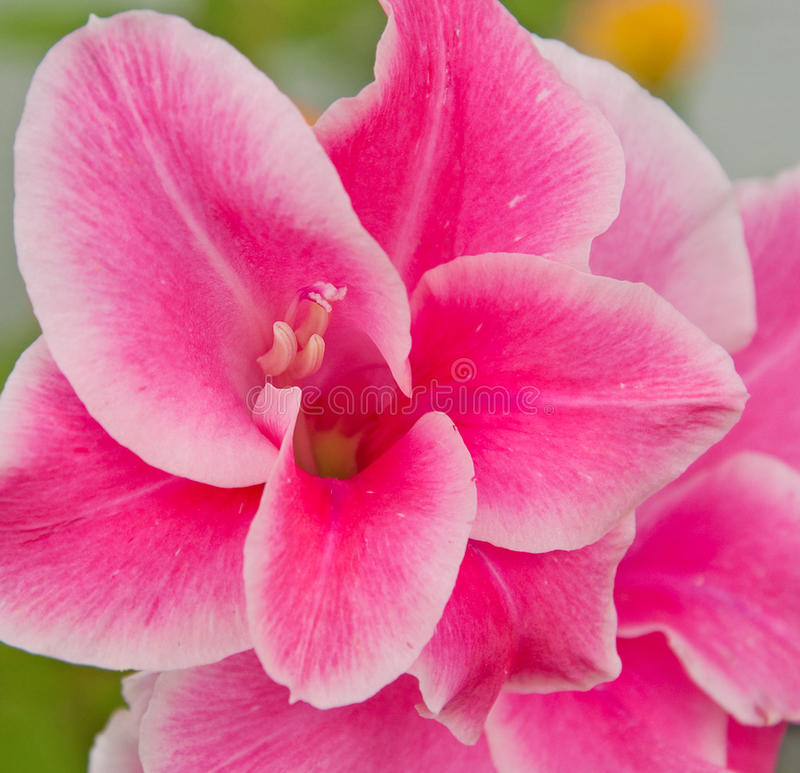 Brilliant pink Gladiolus flower
