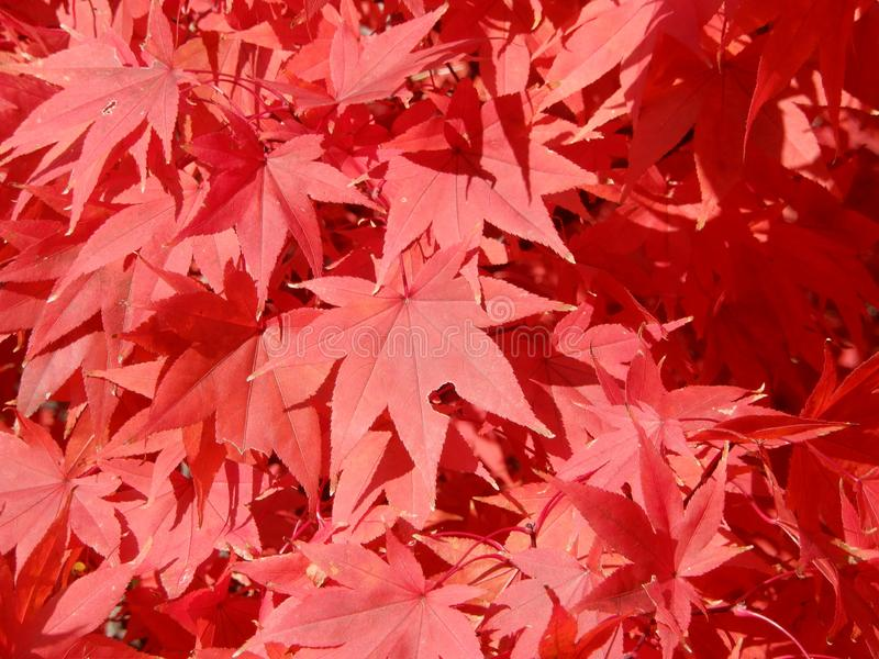 Brilliant red Autumn maple leaves in sunlight stock photography