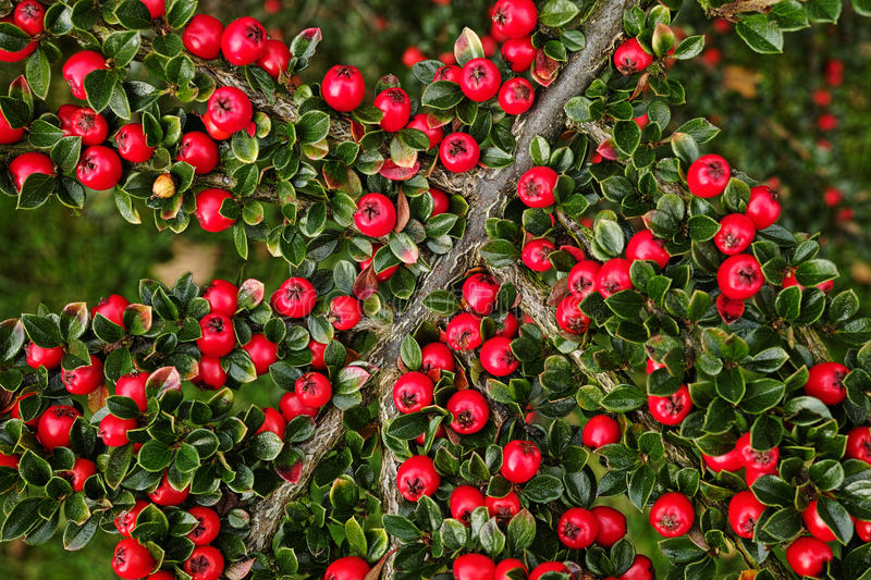 Download Brilliant Red Berries Stock Photo - Image: 27430610