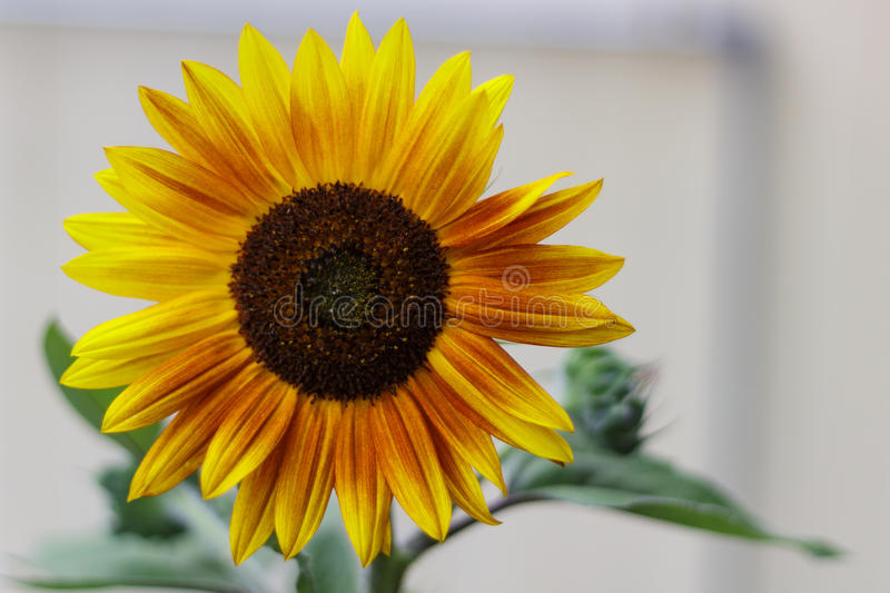 Brilliant sunflower with rusty, yellow petals stock photos