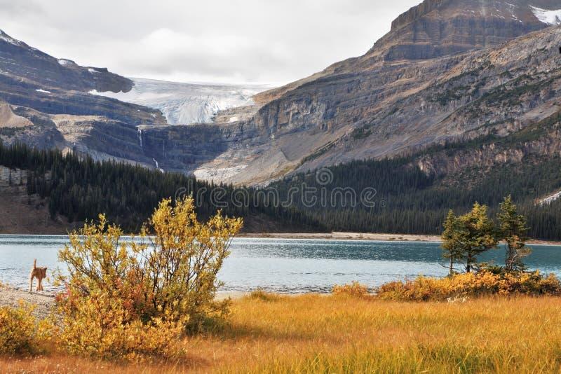 Brilliant turquoise Bow Lake royalty free stock photography