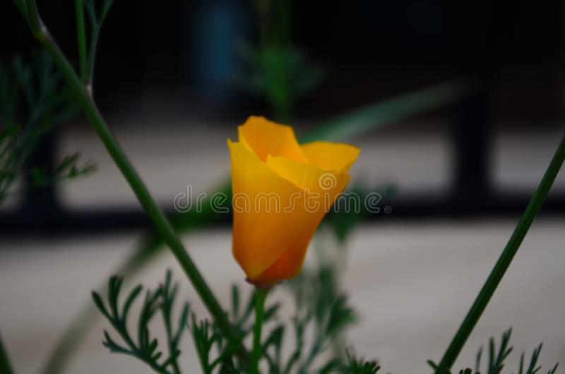 Brilliant yellow flowers of Eschscholzia californica a species of flowering plant in family Papaveraceae are bright. royalty free stock photo