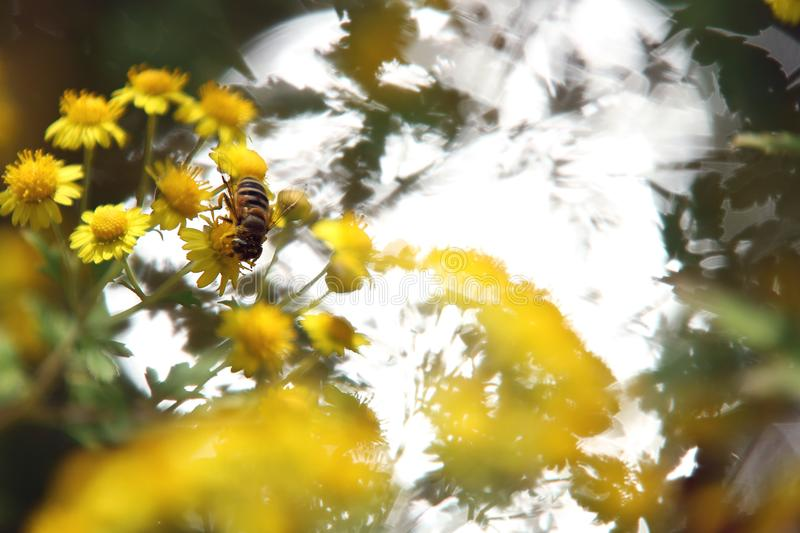 Brilliant yellow little daisy and bee at riverside in autumn royalty free stock image