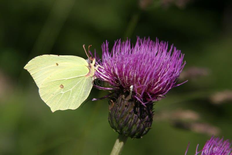 Brimestone Butterfly - Gonepteryx Rhamni. On Violet Bloom in Sunny Day stock photos