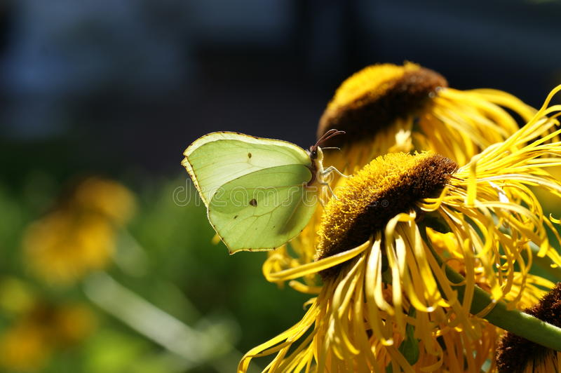 Download Brimstone butterfly stock image. Image of moth, beautiful - 27427407