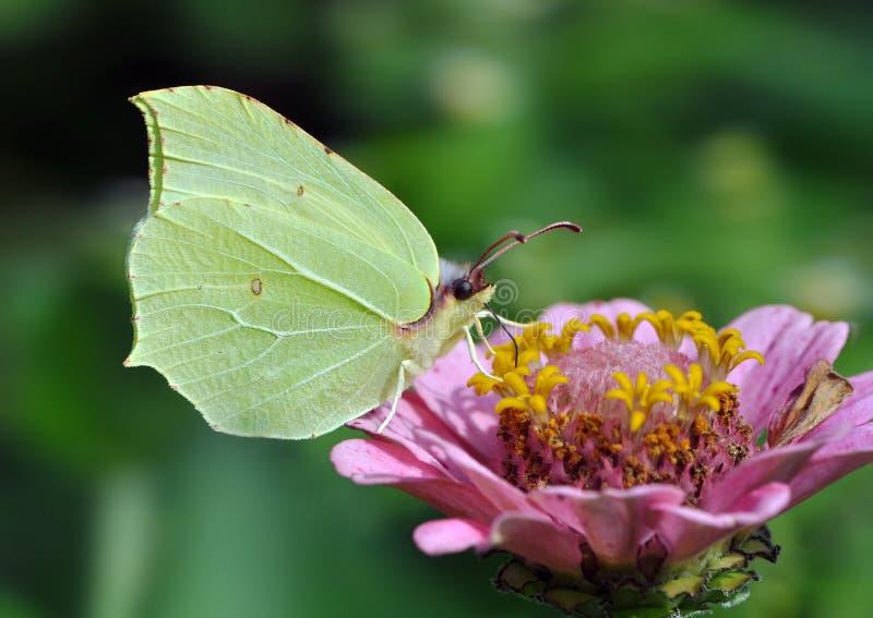 Brimstone Butterfly - Gonepteryx rhamni. On purple flower royalty free stock images