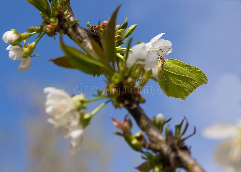 Brimstone Butterfly (Gonepteryx rhamni) in blossoming apple tree. Butterfly Brimstone (Gonepteryx rhamni) camouflaged with sulfur green tones, perched inn apple royalty free stock photos