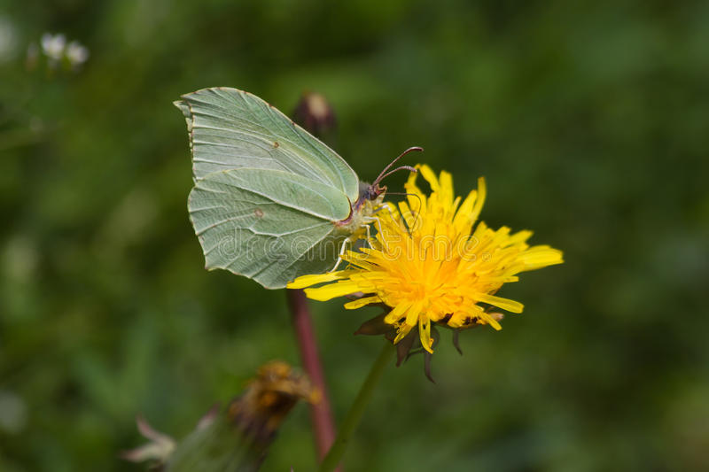 Brimstone Butterfly (Gonepteryx rhamni) on flower Dandelion. Butterfly Brimstone (Gonepteryx rhamni) camouflaged with sulfur green tones, perched on yellow stock images