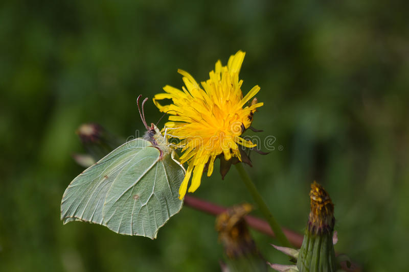 Brimstone Butterfly (Gonepteryx rhamni) on flower Dandelion. Butterfly Brimstone (Gonepteryx rhamni) camouflaged with sulfur green tones, perched on yellow royalty free stock photos