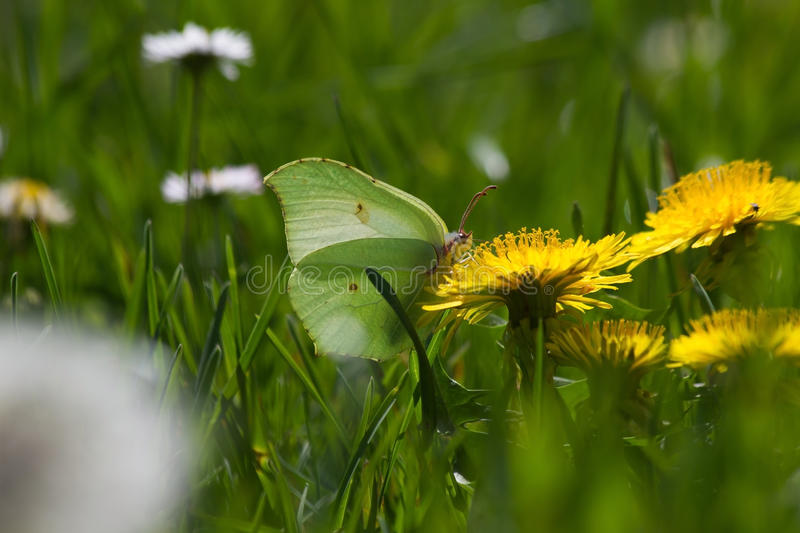 Brimstone Butterfly (Gonepteryx rhamni) on flower Dandelion. Butterfly Brimstone (Gonepteryx rhamni) camouflaged with sulfur green tones, perched on yellow royalty free stock photo