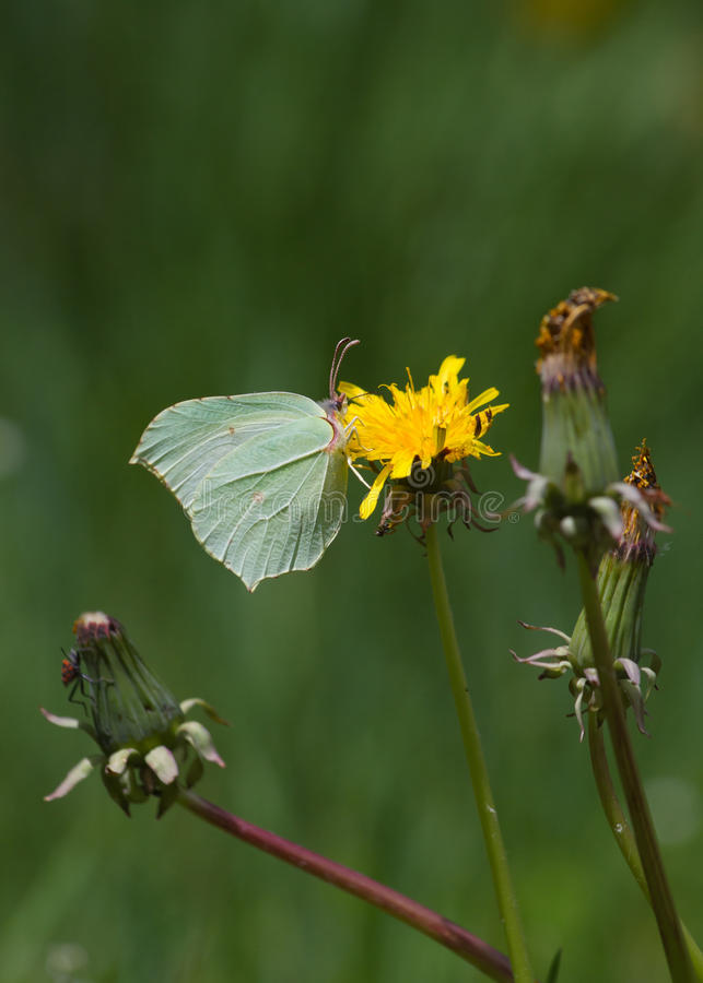 Brimstone Butterfly (Gonepteryx rhamni) on flower Dandelion. Butterfly Brimstone (Gonepteryx rhamni) with sulfur green tones, perched on yellow dandelion flower stock photography