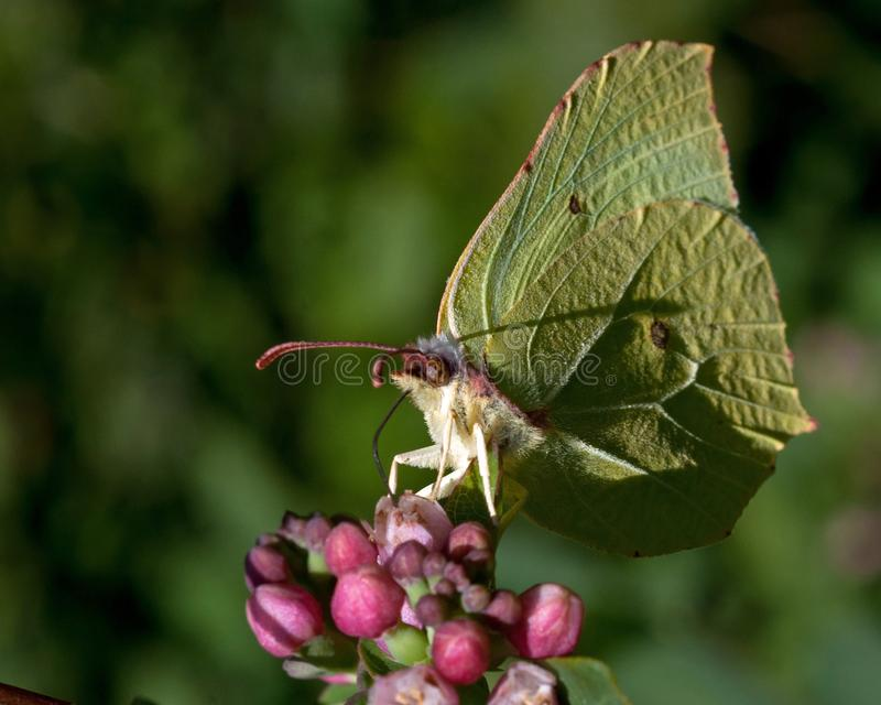 Brimstone butterfly, Gonepteryx rhamni on the flower royalty free stock photos