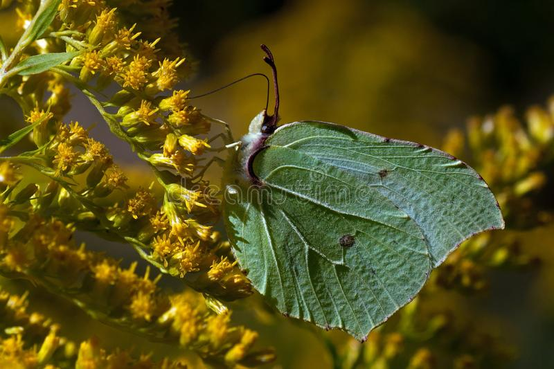 Brimstone butterfly, Gonepteryx rhamni on the flower. Brimstone butterfly, Gonepteryx rhamni on the flower. It lives in large parts of Europe and Asia. It is royalty free stock photography