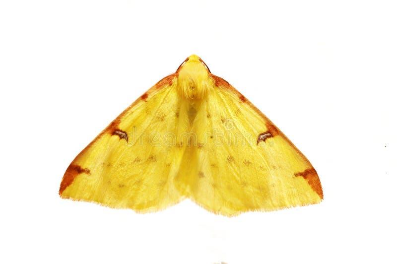 Brimstone-Motte stockbild