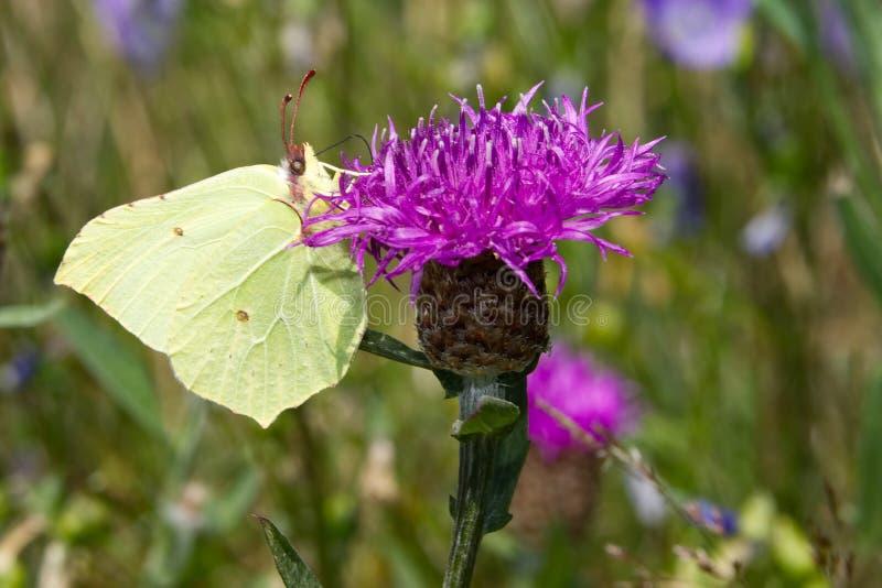 Brimstone-Schmetterling auf rosa Distel lizenzfreies stockfoto