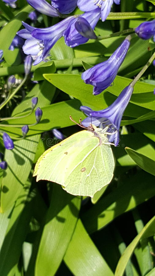 Brimstone Yellow. On Agapanthus at Great Comp Garden stock photos