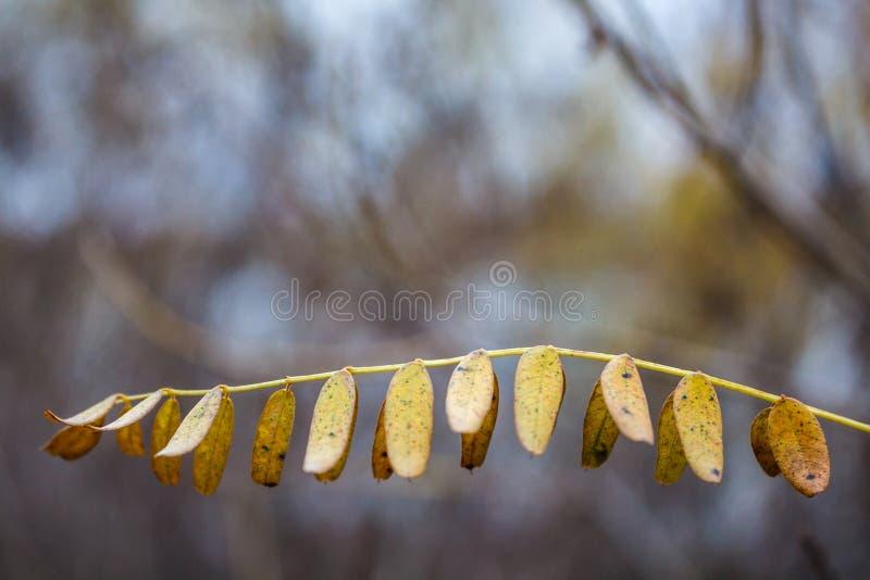 Brin avec les feuilles d'automne jaunes de l'acacia image stock
