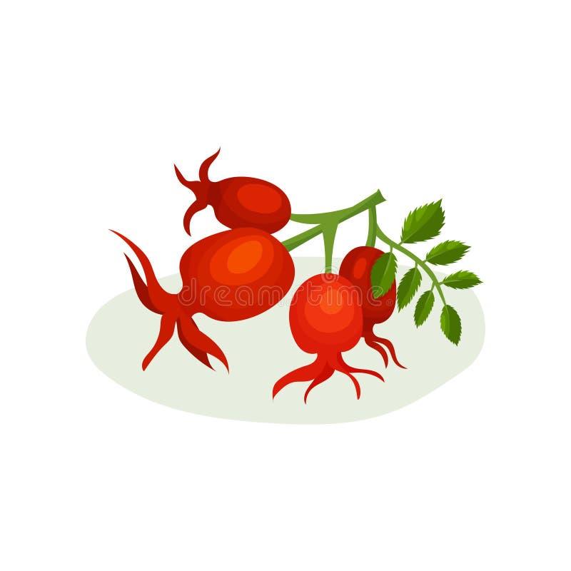 Brin d'aubépine avec de petites feuilles vertes Baies médicinales et comestibles Élément plat de vecteur pour l'affiche ou le pro illustration de vecteur