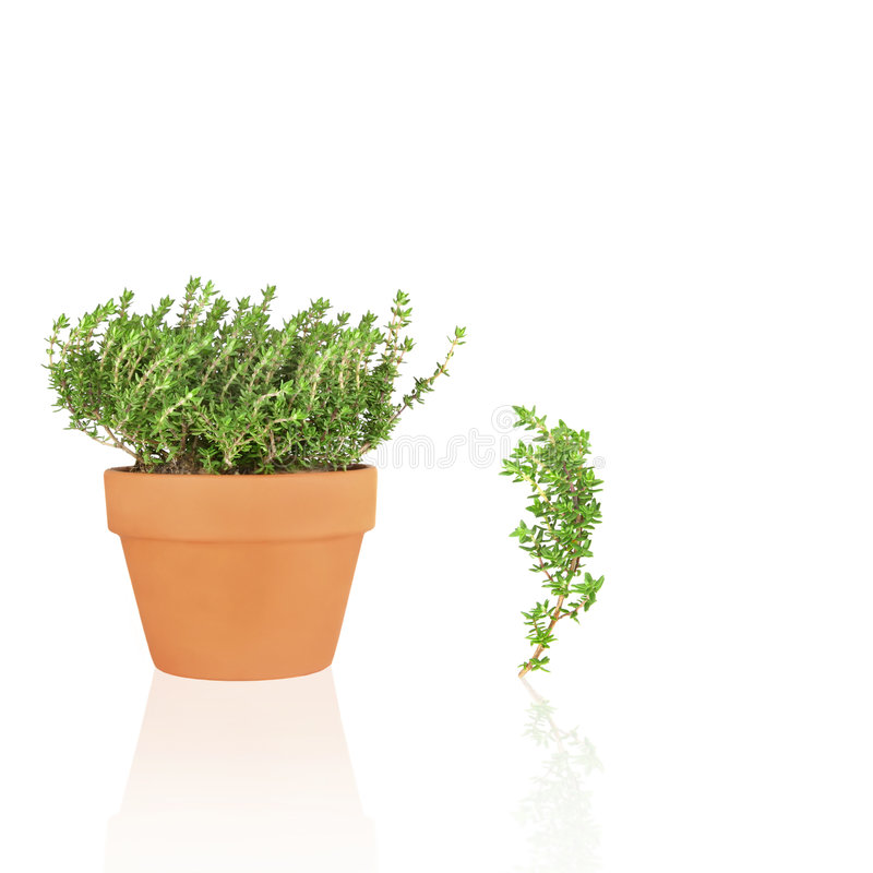 Brin d'herbe et de lame de thym image stock