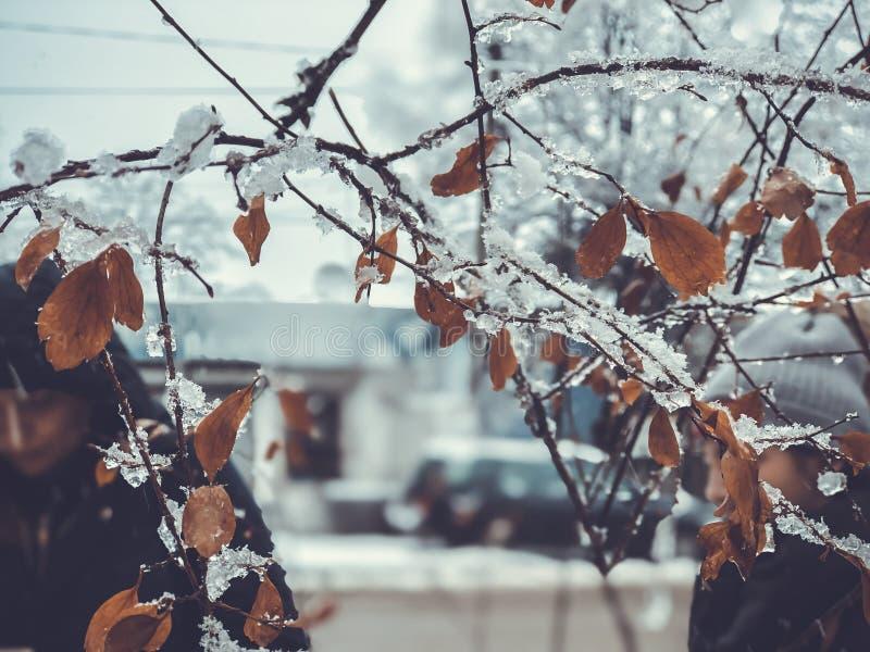 Brin d'un arbre, feuilles dans la neige Neige sur la rue de la ville Le début de l'hiver dans Bakuriani photographie stock libre de droits