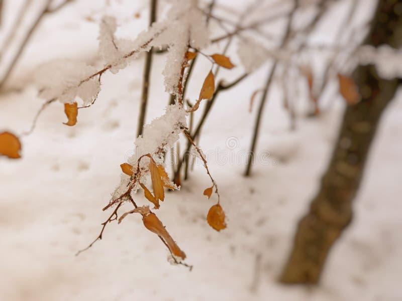 Brin d'un arbre, feuilles dans la neige Neige sur la rue de la ville Le début de l'hiver dans Bakuriani photos libres de droits