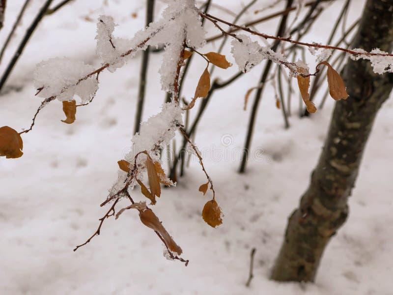Brin d'un arbre, feuilles dans la neige Neige sur la rue de la ville Le début de l'hiver dans Bakuriani image stock