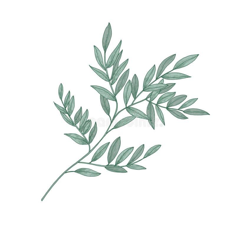 Brin de Ruscus avec des feuilles de vert d'isolement sur le fond blanc Beau dessin naturel d'usine à feuilles persistantes magnif illustration de vecteur