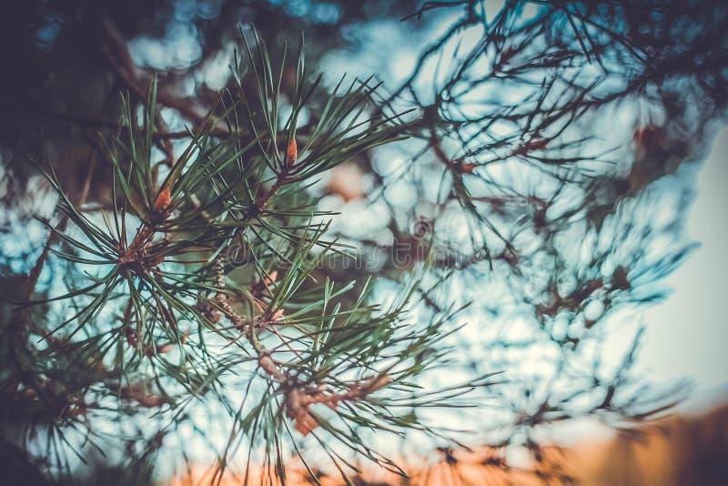 Brin de sapin bleu au coucher du soleil image libre de droits