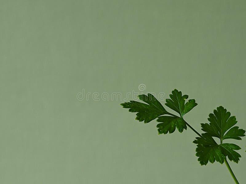 Brin des feuilles vertes de persil dans le coin d'un fond vert photo stock
