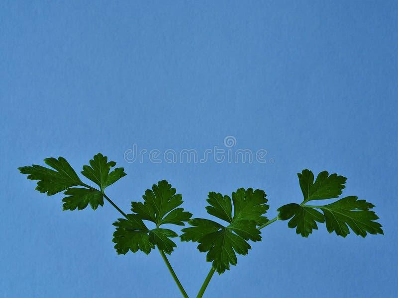 Brin des feuilles vertes de persil sur un fond bleu photos stock