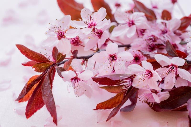 Brin des prunes de cerise de floraison d'isolement sur un fond blanc Sakura Blossom image libre de droits