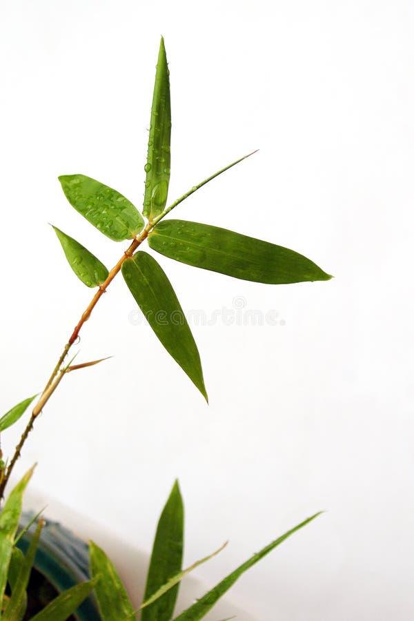 Brin et gouttes de pluie en bambou photos stock