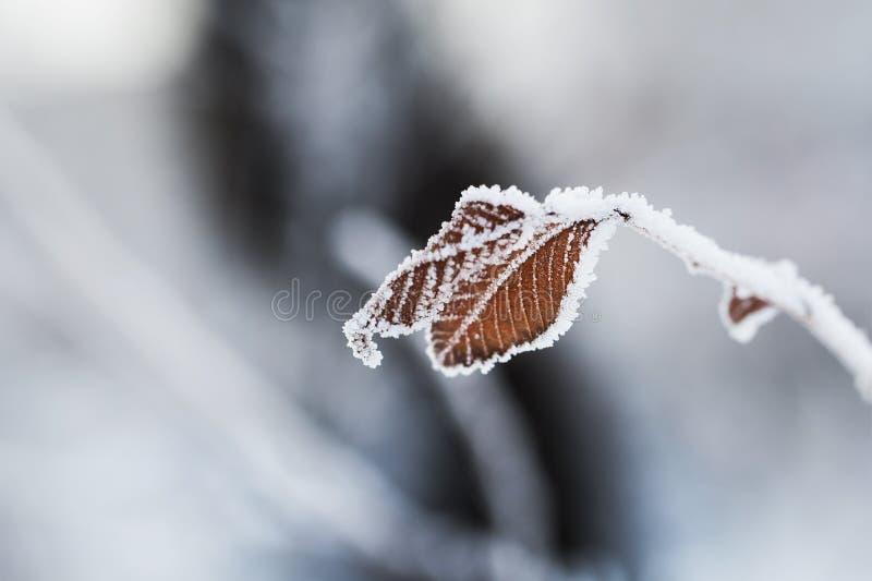 Brina sulle foglie nella foresta di inverno immagine stock