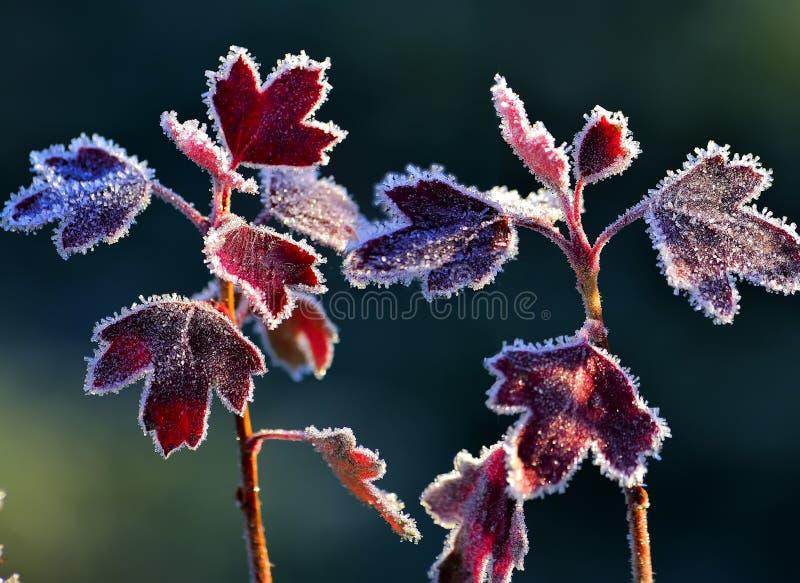 Brina sulle foglie rosse fotografia stock
