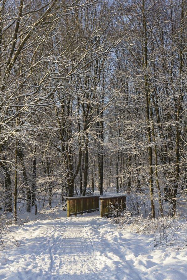 Brindge w śnieżnym lesie