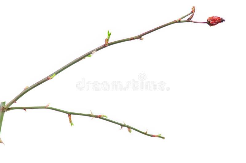 Brindille de crabot de Rose avec des bourgeons image stock