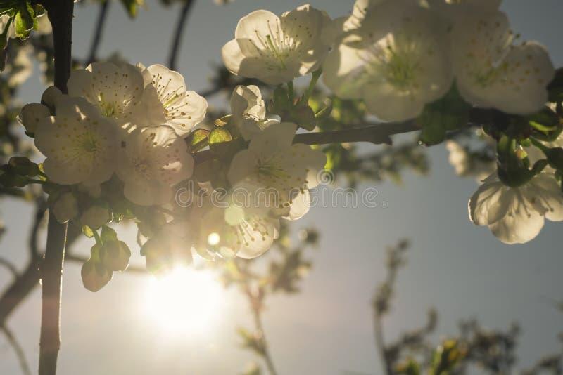 Brindille de floraison des fleurs de cerisier dans un rayon de soleil image stock