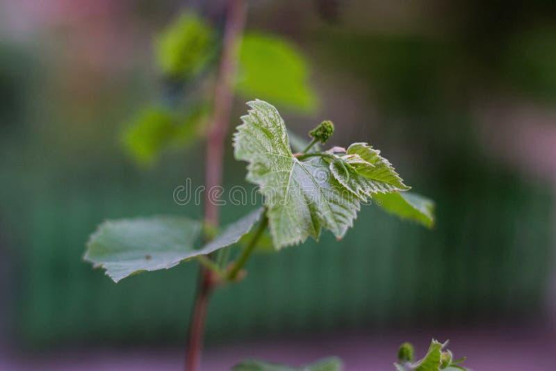 Brindille de raisin au printemps photographie stock