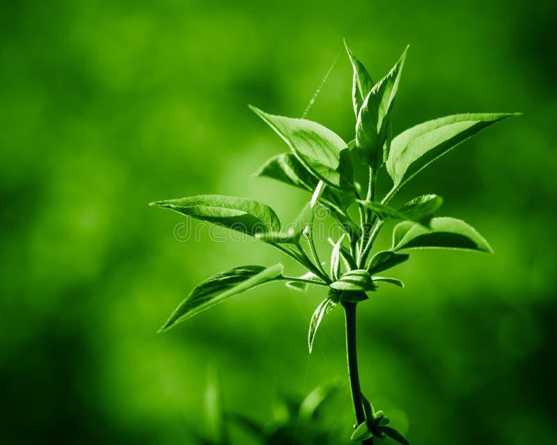 Brindille de ressort des feuilles vertes fraîches images libres de droits
