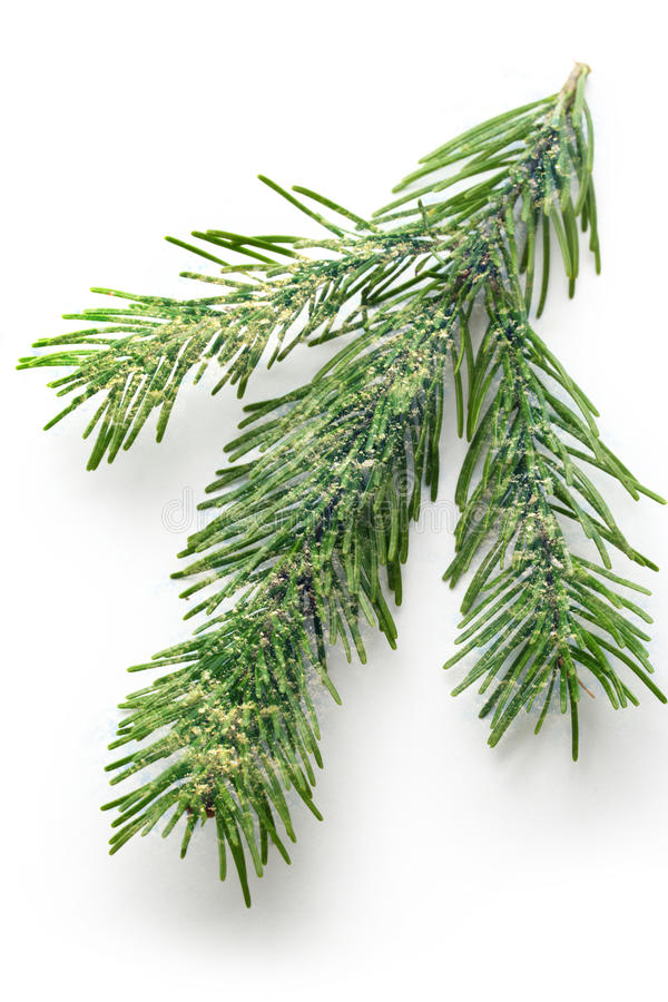 Brindille de sapin à feuilles persistantes images stock
