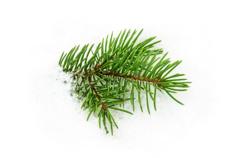 Brindille de sapin dans la neige photographie stock libre de droits