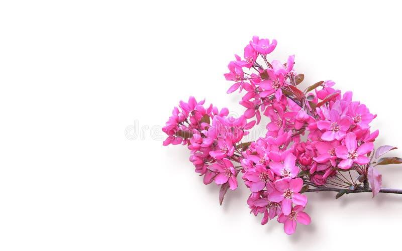 Brindille des fleurs de cerisier de floraison sur le blanc image libre de droits